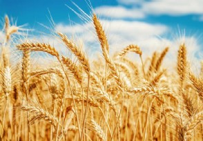 小麦收购价格上涨 哪些相关上市公司有望受益?