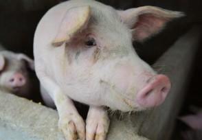 中国研究人员发现新型猪流感病毒 猪肉板块有哪些?